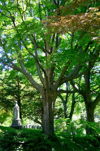mt-auburn-tree