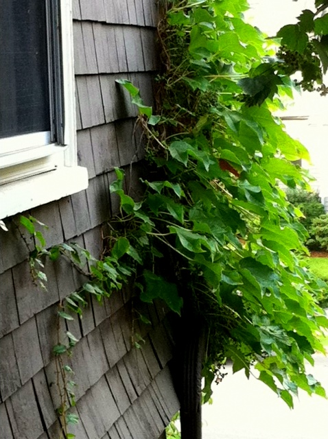 the ivy from the bathroom window