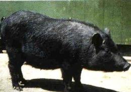 pig10-2a